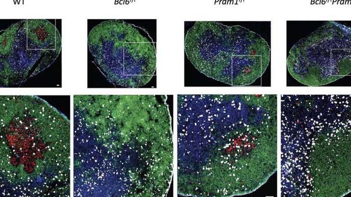 LJI Scientists Investigate a Powerful Protein Behind Antibody Development
