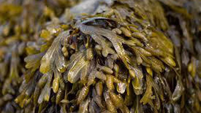 Marine Algae from the Kiel Fjord Discovered as a Remedy Against Infections & Skin Cancer