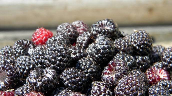 In Mouse Study, Black Raspberries Show Promise for Reducing Skin Inflammation