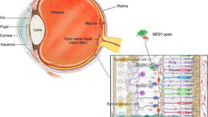 Scientists Use Gene Therapy & a Novel Light-Sensing Protein to Restore Vision in Mice